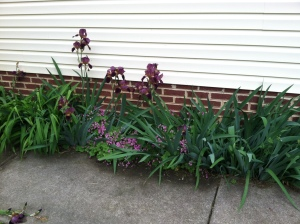 Purple irises and little purple flowers I've forgotten the name of.