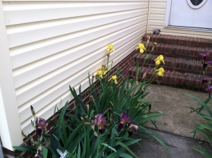 Yellow and purple irises.